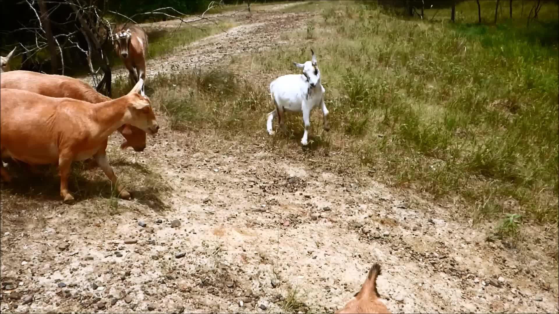 cute, eyebleach, funny, goat, goat parkour, goatparkour, happy, knsfarm, parkour, Spin Jump down the Hill GIFs