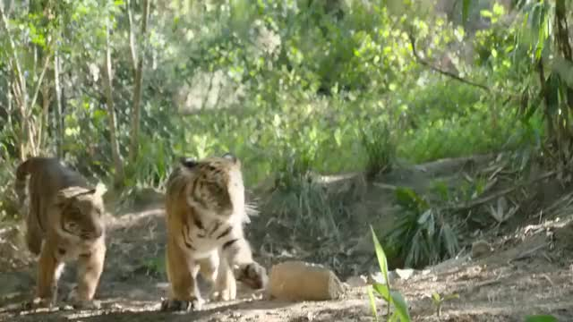 Watch Bengal tiger cubs playing GIF on Gfycat. Discover more adorable, animals, conservation, cute, nature, safari park, san diego, san diego zoo, wildlife, zoo GIFs on Gfycat