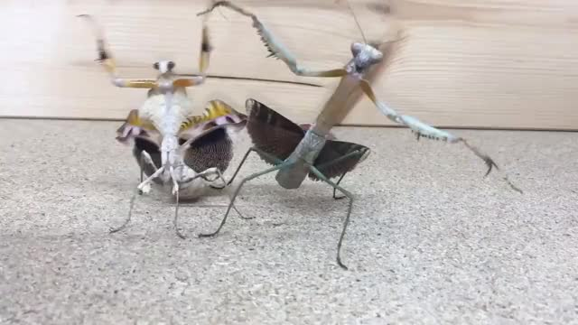 Watch and share Praying Mantis Dance GIFs on Gfycat