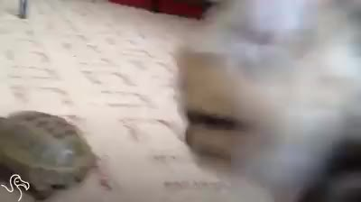 Watch and share Kitten Just Saw His First Turtle And Does NOT Know How To Feel GIFs by Funny Cats! on Gfycat