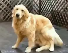 Watch 2 Golden retrievers locos GIF on Gfycat. Discover more animalgifs GIFs on Gfycat