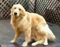 animalgifs, 2 Golden retrievers locos GIFs