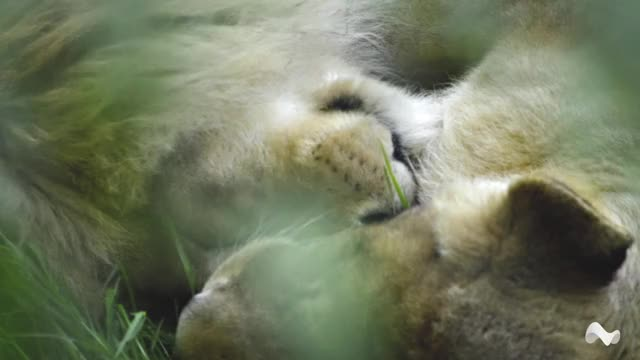Watch and share Sleeping Lions GIFs by Moodica on Gfycat