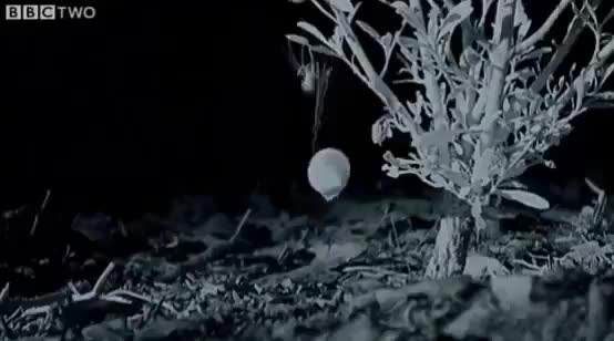 Wow: Spider hauls a shell into a tree for shelter 🕷️ R/sciences GIF