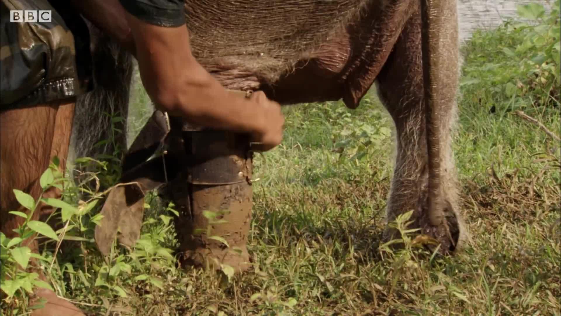 baby elephant, bbc, bbc documentary, bbc earth, bbcearth, elephant calf, orphan elephant, sri lanka elephant island, three legged elephant, three legged orphan elephant, Three Legged Orphan Elephant Bathes with his Human Friend   BBC Earth GIFs