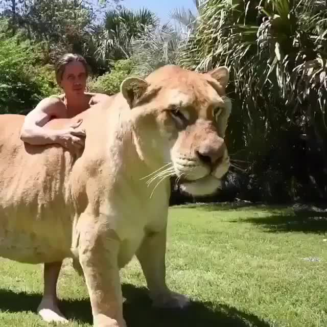 Watch and share Absolute Unit GIFs and Lion GIFs by MacRooney on Gfycat