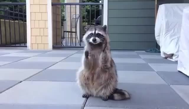 Watch this racoon GIF on Gfycat. Discover more animal, animals, cute, fun, raccoon, racoon GIFs on Gfycat