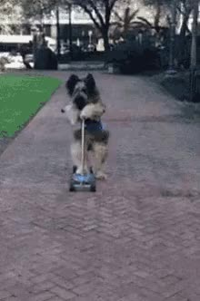 Watch Dog Scooter GIF on Gfycat. Discover more related GIFs on Gfycat