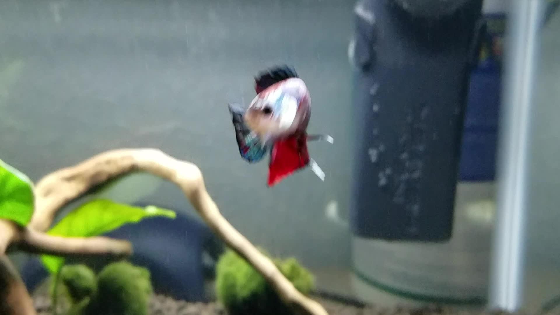 Aquariums, bettafish,  GIFs