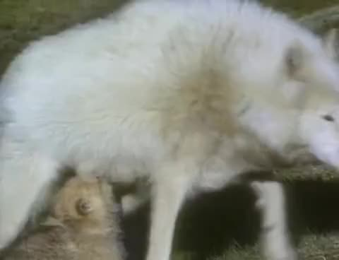 Watch White Wolf - National Geographic GIF on Gfycat. Discover more related GIFs on Gfycat