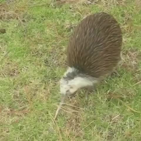 Comedy, Legacy Thrower, Its real kiwi hours GIFs