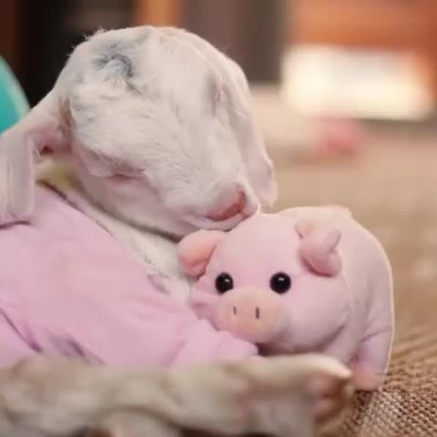 Watch and share Baby Goat Bedtime With Piggy - Likeus GIFs on Gfycat