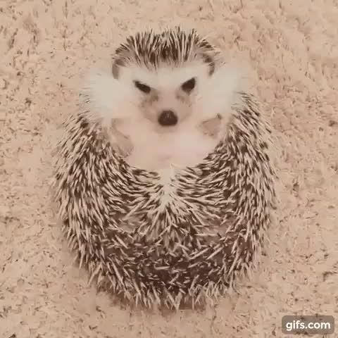 SubredditDrama, How to unzip a hedgehog GIFs