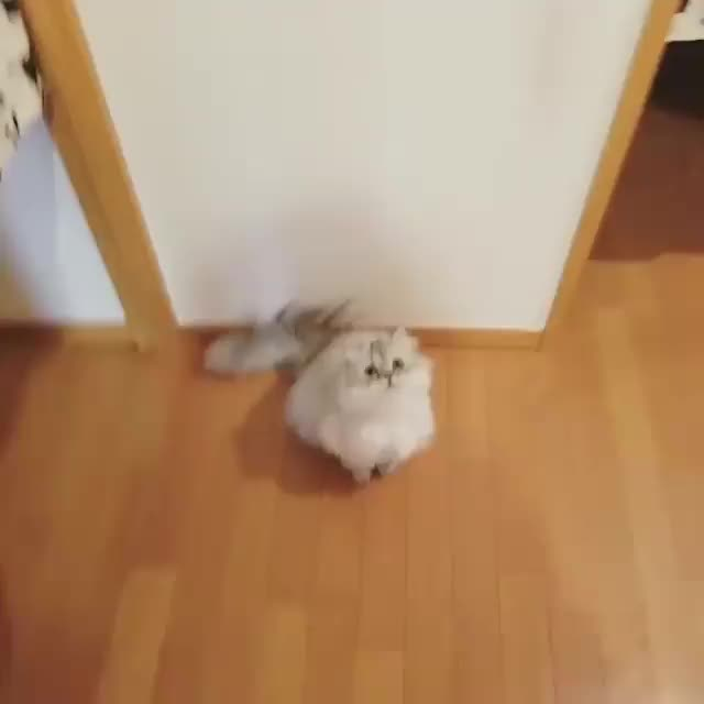 Watch Jump, jump, jump! GIF by Koleandra (@koleandra) on Gfycat. Discover more cat, cats GIFs on Gfycat