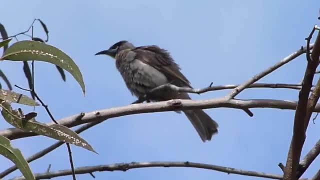 Watch and share Friarbird GIFs and Little GIFs by likkaon on Gfycat
