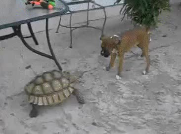Watch gracioso peror tiene miedo tortuga gigante GIF on Gfycat. Discover more related GIFs on Gfycat