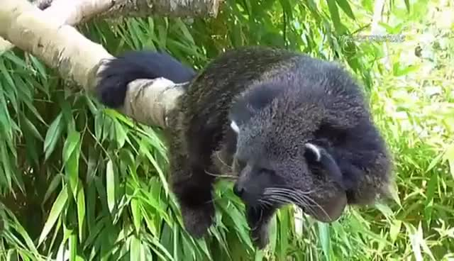 Watch and share Sleepy Rare Binturong (Bearcat) GIFs on Gfycat