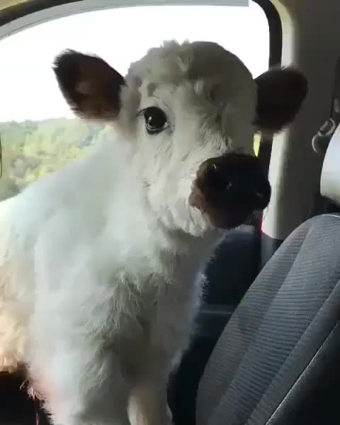 Watch and share Awwwww GIFs and Cow GIFs by Master1718 on Gfycat