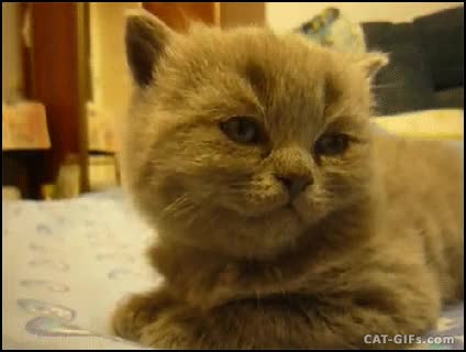 Watch and share CAT Nap Attack Kitten Suddenly Falls Asleep Kitten Exe Has Crashed GIFs on Gfycat