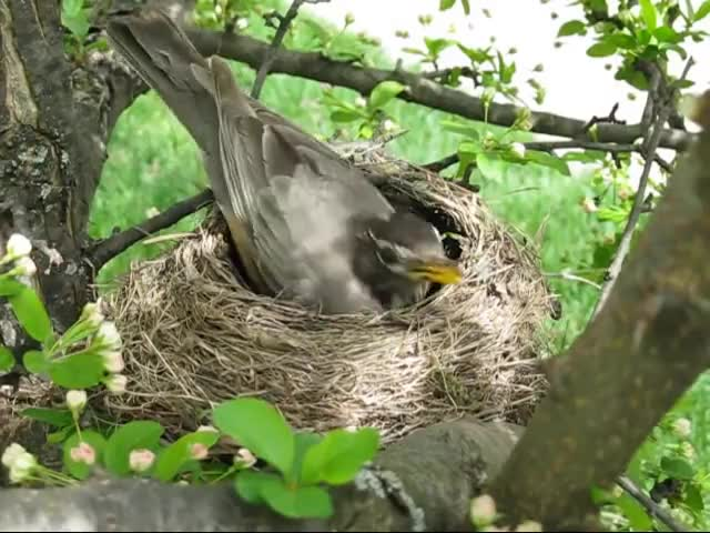 Watch Robin building a nest GIF on Gfycat. Discover more JimHulsebus, Pets & Animals, Robin, Wildlife, nest GIFs on Gfycat