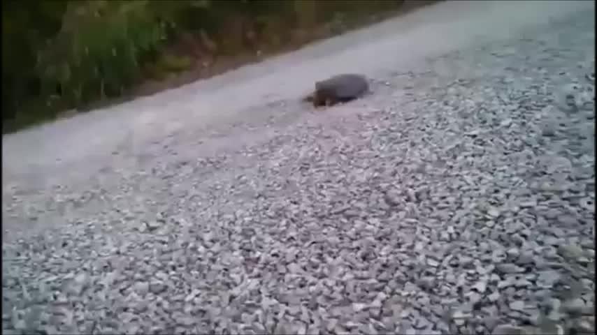 Turtle GIFs