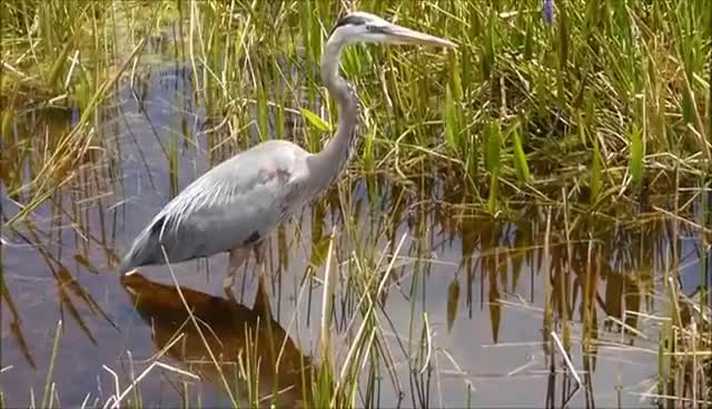 Watch and share (HD) Great Blue Heron Mini-Documentary GIFs on Gfycat