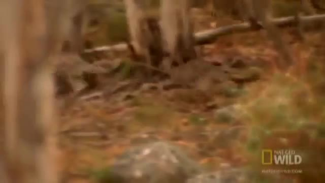Dingoes chase down a Kangaroo GIFs