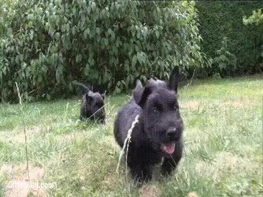 Watch and share Scottish Terrier Puppies. GIFs on Gfycat