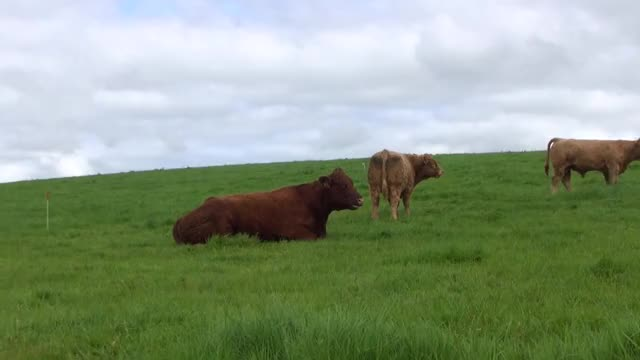 Watch and share Irish Salers Cattle 2016 GIFs on Gfycat