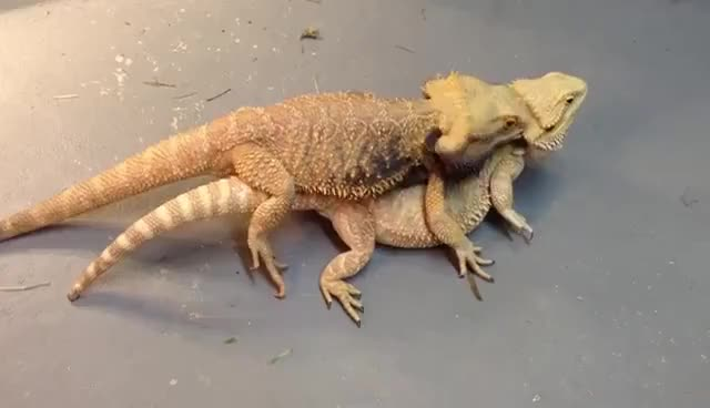 Watch Bearded Dragons Mating 3 GIF on Gfycat. Discover more related GIFs on Gfycat