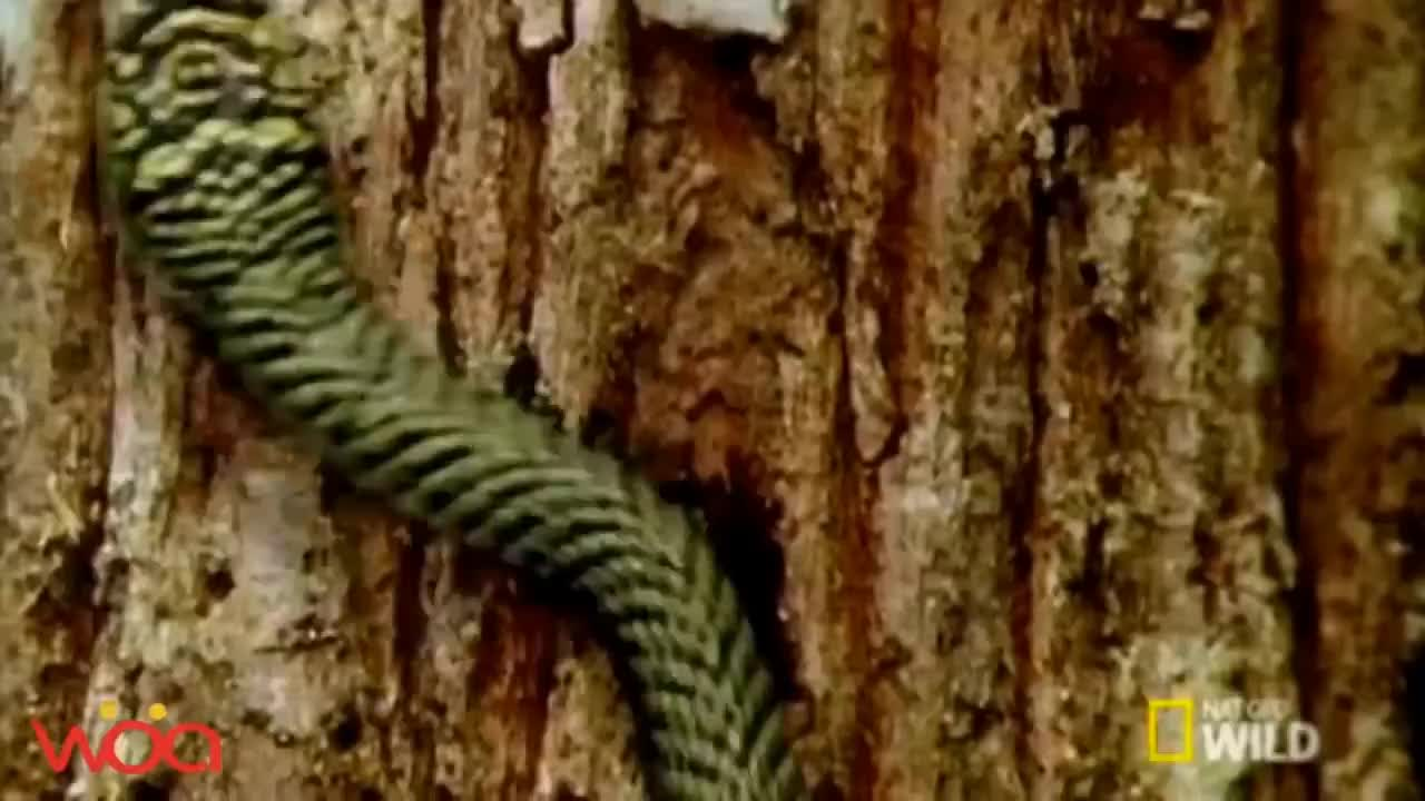 Snakes really can fly ? - Real Flying Snakes GIFs