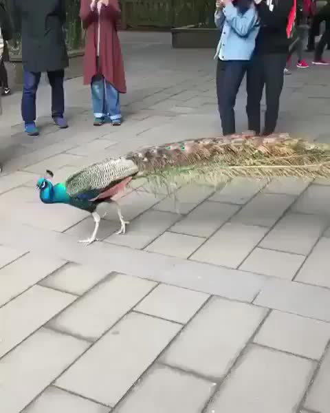 Watch and share Gorgeous GIFs and Peacock GIFs by gumus33 on Gfycat