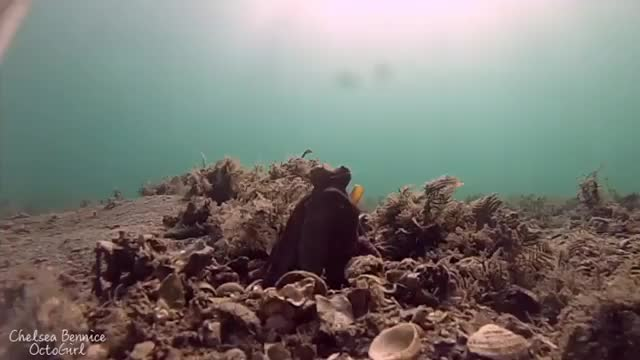 Watch and share Octopus Cleaning GIFs by PM_ME_STEAM_K3YS on Gfycat