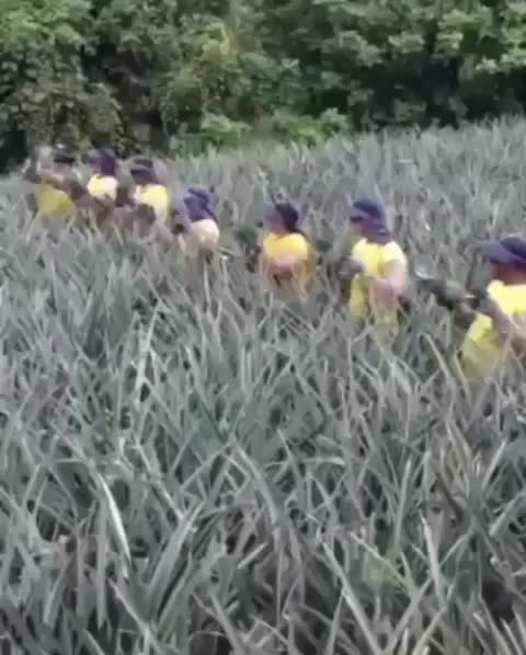 Watch and share Pineapple GIFs by the-mitr on Gfycat