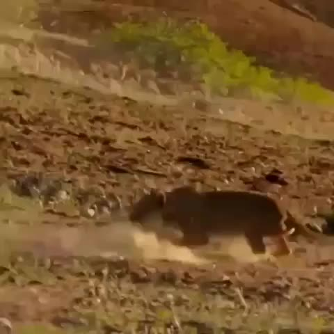 metal, nature, Lioness being Trampled GIFs