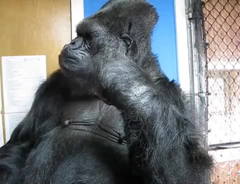 Watch this gorilla GIF on Gfycat. Discover more related GIFs on Gfycat