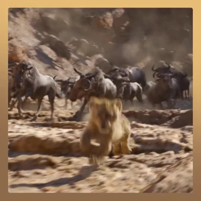 Watch and share Jungle GIFs and Lions GIFs by Diamond Garden on Gfycat
