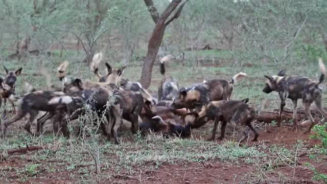 Watch and share African Wild Dogs Devouring A Wildebeest GIFs by Pardusco on Gfycat