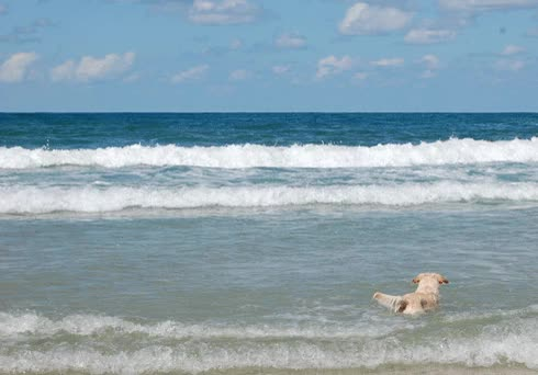 Watch this beach GIF on Gfycat. Discover more beach, dog, waves GIFs on Gfycat