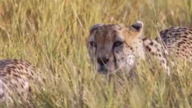 Watch and share Cheetahs GIFs by pixinsightftw on Gfycat