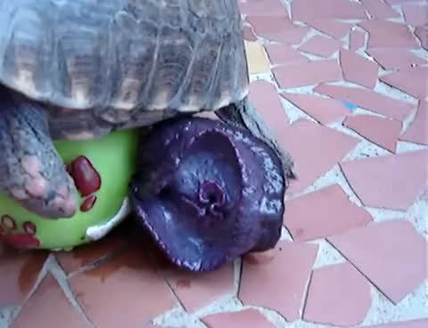 pesnis, turtle GIFs