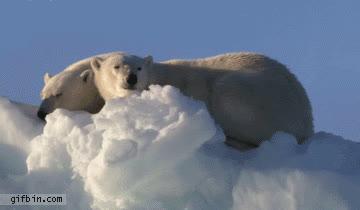 polar bears GIFs