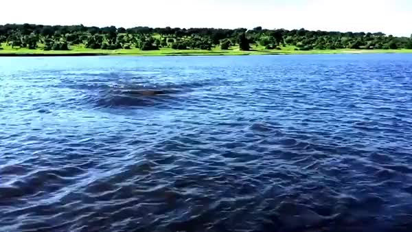 Watch and share Hippo Charge On Chobe River GIFs by correiajoao on Gfycat