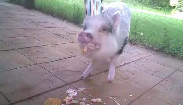 Watch nom nom nom GIF on Gfycat. Discover more pig nom eat GIFs on Gfycat
