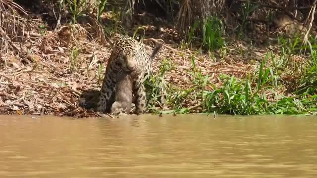 Watch and share Jaguar That Killed A Baby Capybara GIFs by Pardusco on Gfycat