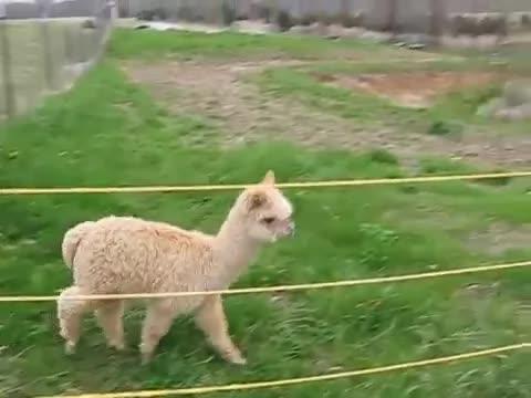 AnimalTextGifs, NLSSCircleJerk, playitforward, Alpaca breaks free GIFs