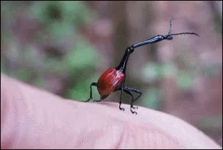 Watch and share [Request] Giraffe Weevil Struggling To Clean Its Antennae (reddit) GIFs by reade on Gfycat