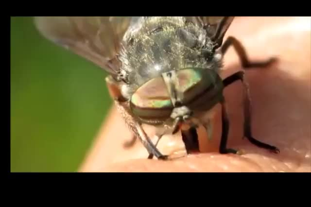 Watch and share Horsefly Sucking Blood (reddit) GIFs on Gfycat
