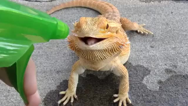 Watch this lizard GIF by @they_call_me_s_money on Gfycat. Discover more eyebleach, lizard, thirsty GIFs on Gfycat