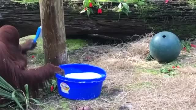 Watch and share The Orangutan Caught Cleaning Her Enclosure And Washing Her Hands Afte GIFs by funnyvidspage on Gfycat
